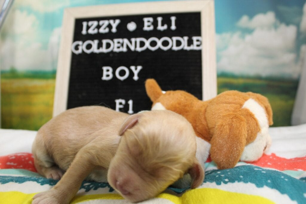 Light Blue Boy is an F1 Goldendoodle that should have Cream, reds and parti