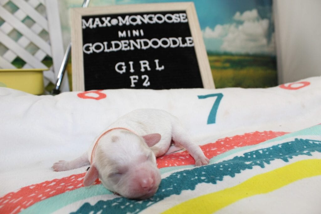 Pink Girl came from Maxine and Mongoose's litter of F2 Goldendoodles