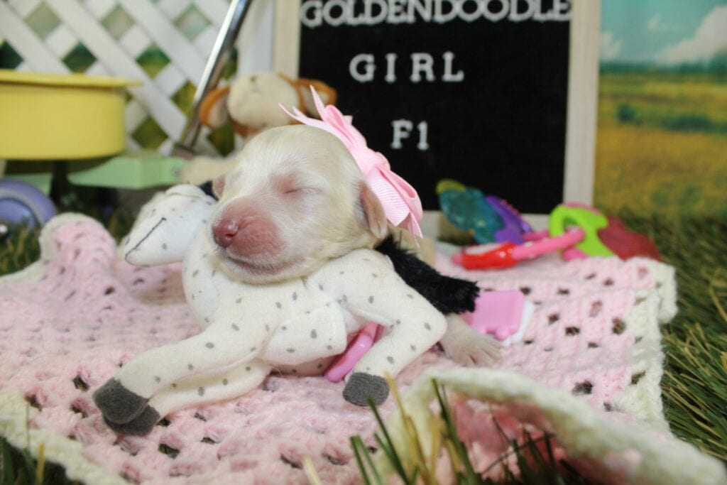 Annie came from Isabella Rose (Izzy) and Moon Acres Eli's litter of F1 Goldendoodles