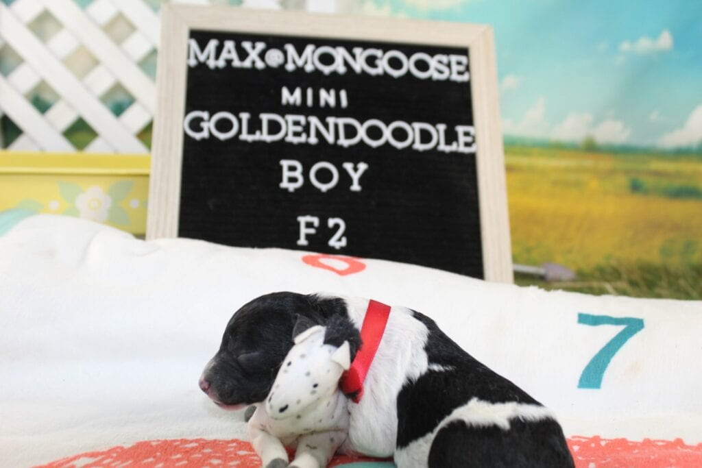 Red Collar came from Maxine and Mongoose's litter of F2 Goldendoodles