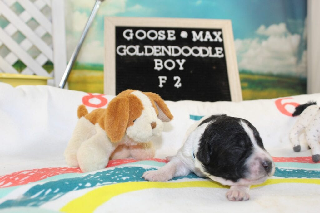 Goose Baby Blue came from Goose and Miracle Max's litter of F2 Goldendoodles