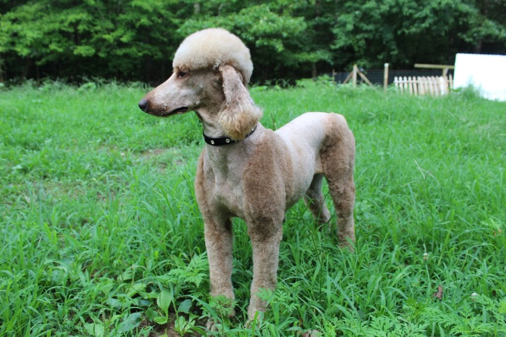 """Last of the Summer Wine """"Brandy"""" is an  AKC Standard Poodle and a mother here at Virginia Poodles and Doodles"""