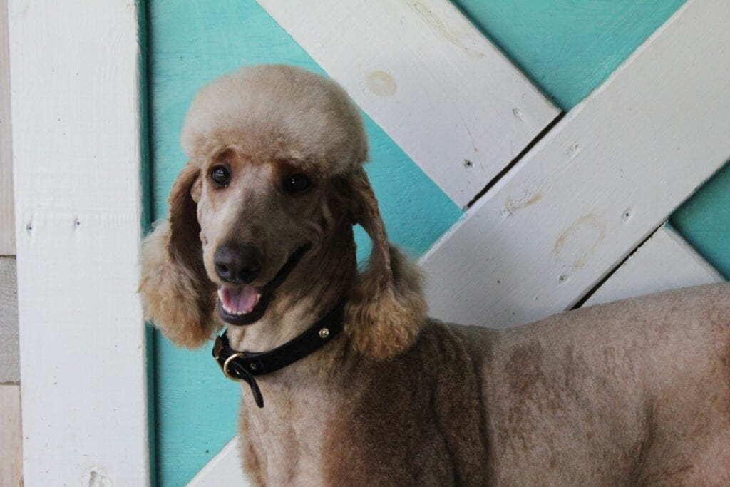 """A picture of one of our AKC Standard Poodle mother's, Last of the Summer Wine """"Brandy""""."""