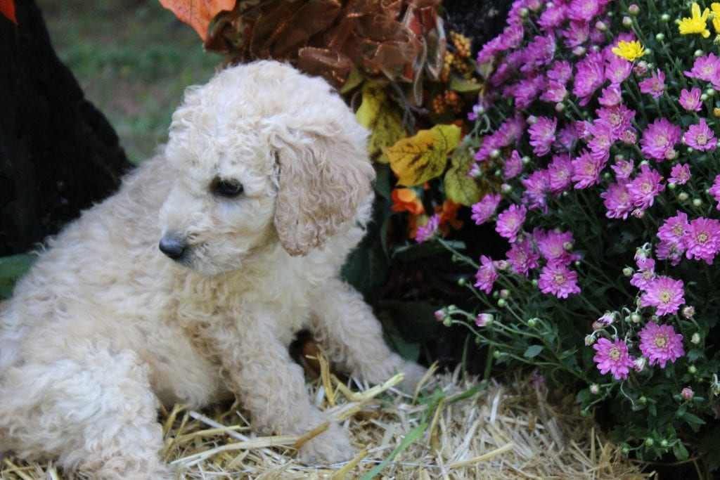 Adorable 45 pounds AKC Standard Poodles