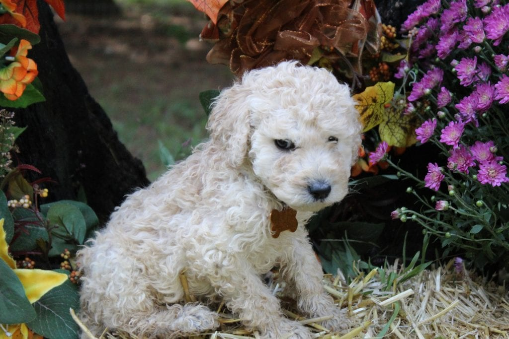 AKC Standard Poodles bred by Virginia Poodles and Doodles in Virginia