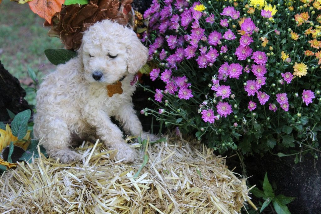 45 pounds AKC Standard Poodles with Beautiful akc standard poodles