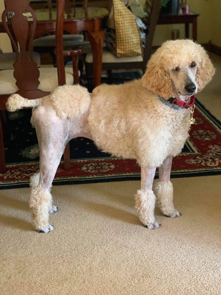 'Flora' AKC Punky's Twin Flame Flora is an  AKC Standard Poodle and a mother here at Virginia Poodles and Doodles