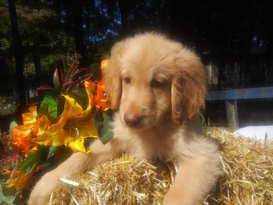 A picture of a Jupiter, one of Doodle Breeder's 50 lbs Goldendoodles