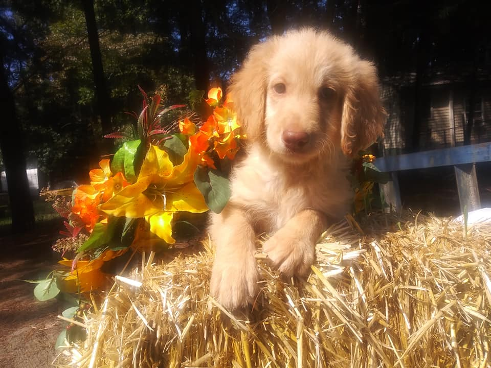 Jupiter is an F1 Goldendoodle that should have Cream, reds and parti