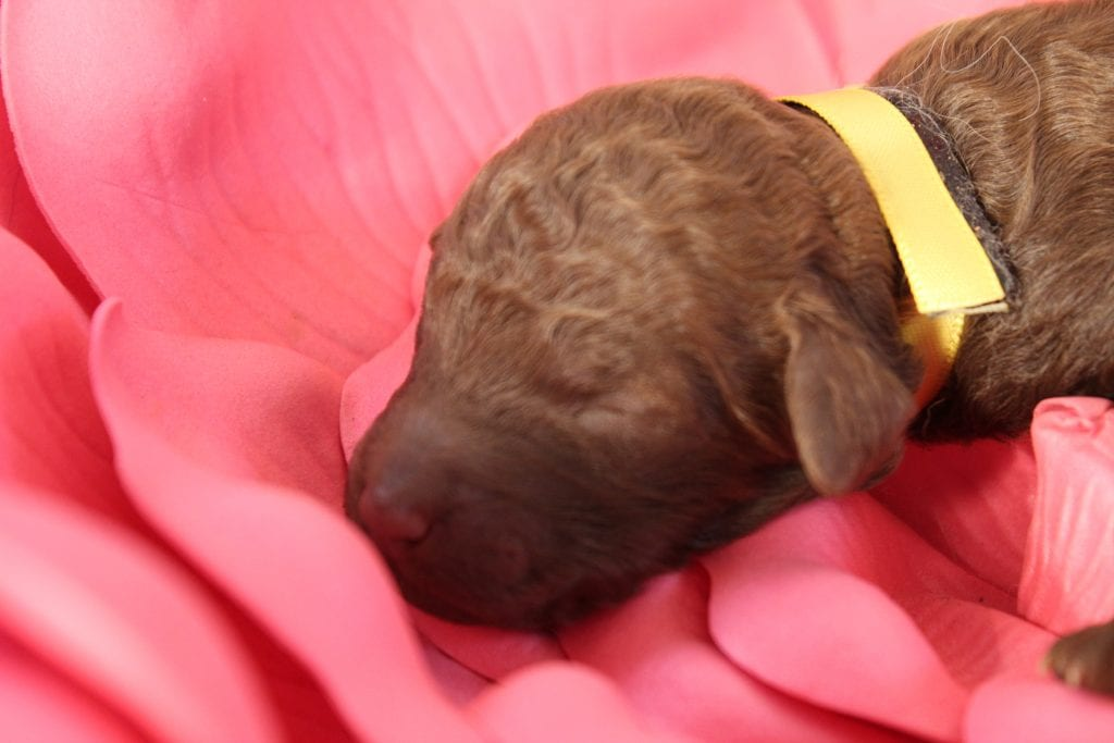 Voodoo is an F1B F1b Goldendoodle that should have Curly F1b Merle