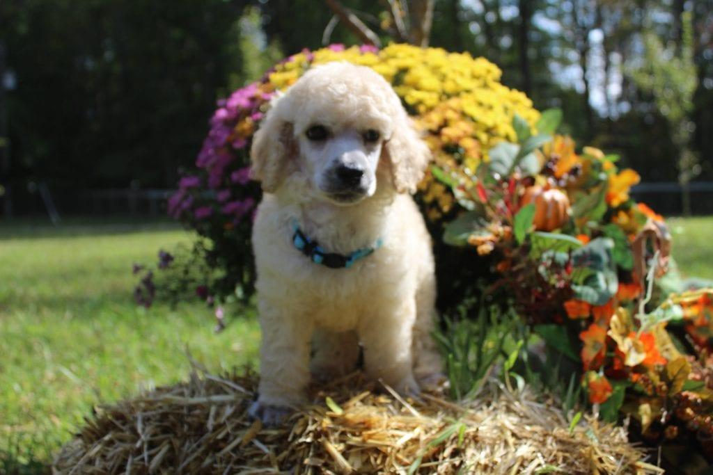 Rocky is an  AKC Standard Poodle that should have Beautiful akc standard poodles