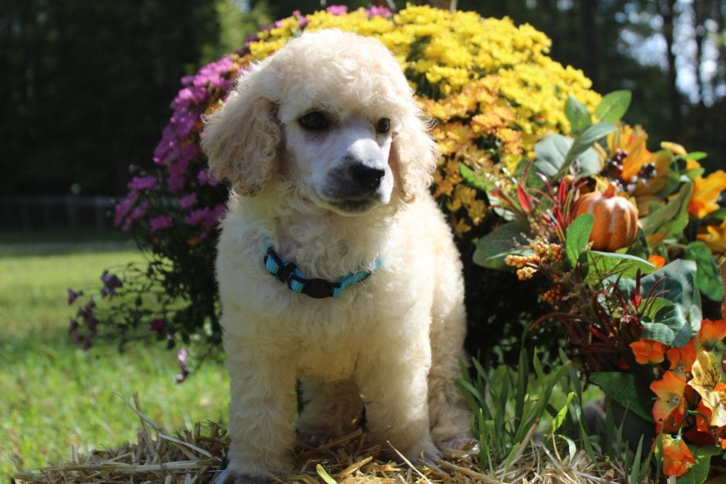 A picture of a Rocky, one of Doodle Breeder's 45 pounds AKC Standard Poodles