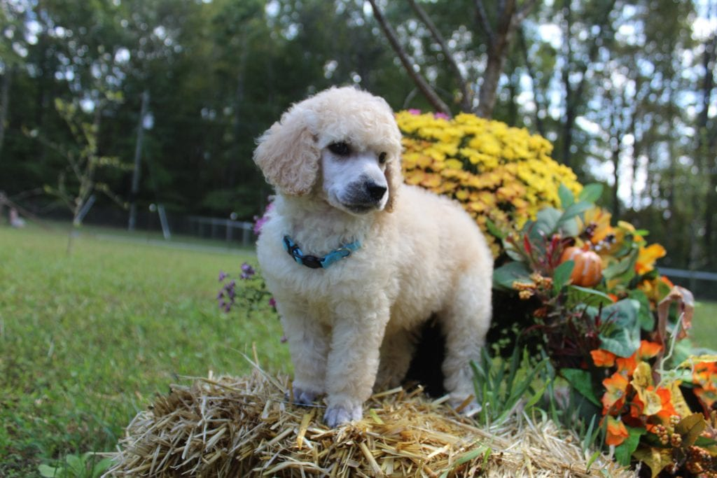 Rocky came from 'Flora' AKC Punky's Twin Flame Flora and Moon Acres Eli's litter of  AKC Standard Poodles