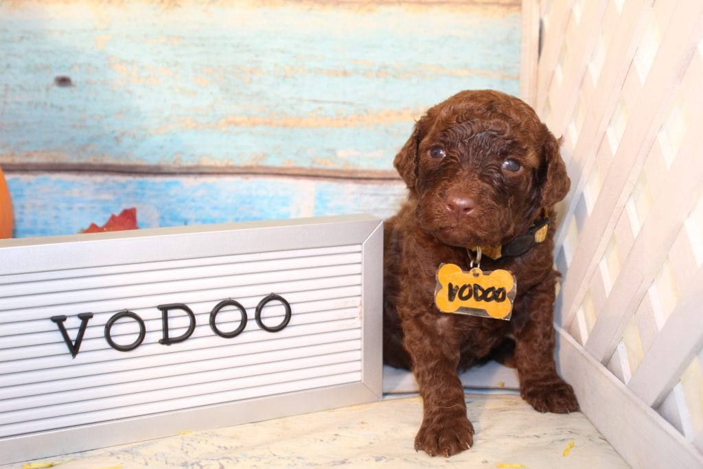 Voodoo was born on 09/11/2020