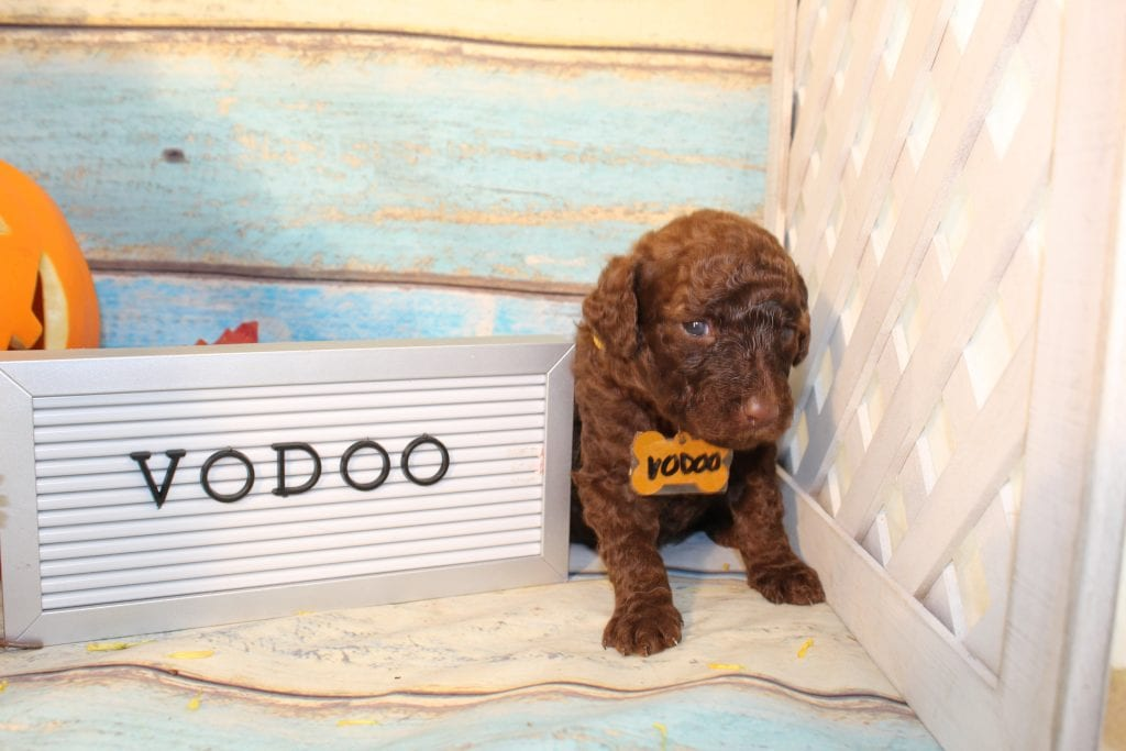 A picture of a Voodoo, one of Doodle Breeder's 30 to 45 pounds F1b Goldendoodles