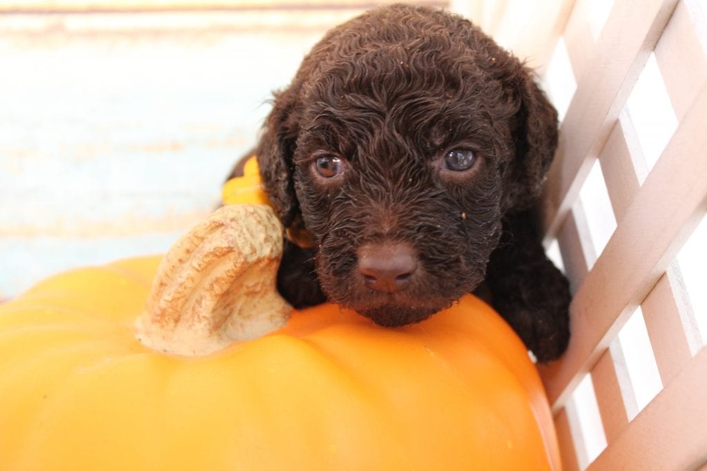 Nico is an F1B Goldendoodle that should have Curly, chocolate, and chocolate merle