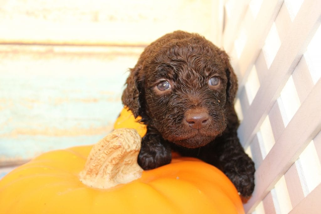 A picture of a Nico, one of Doodle Breeder's 50 lbs Goldendoodles