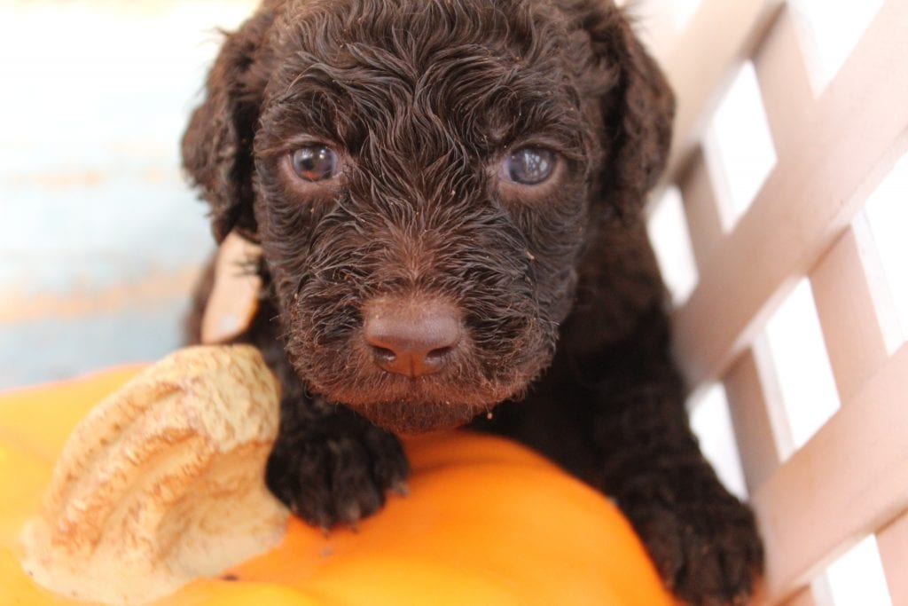 Nico came from Nessie and Miracle Max's litter of F1B Goldendoodles