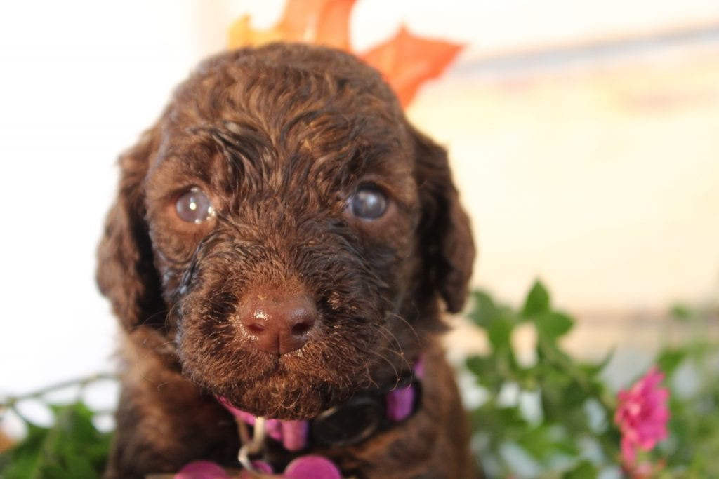 Endora came from Nessie and Miracle Max's litter of F1B Goldendoodles
