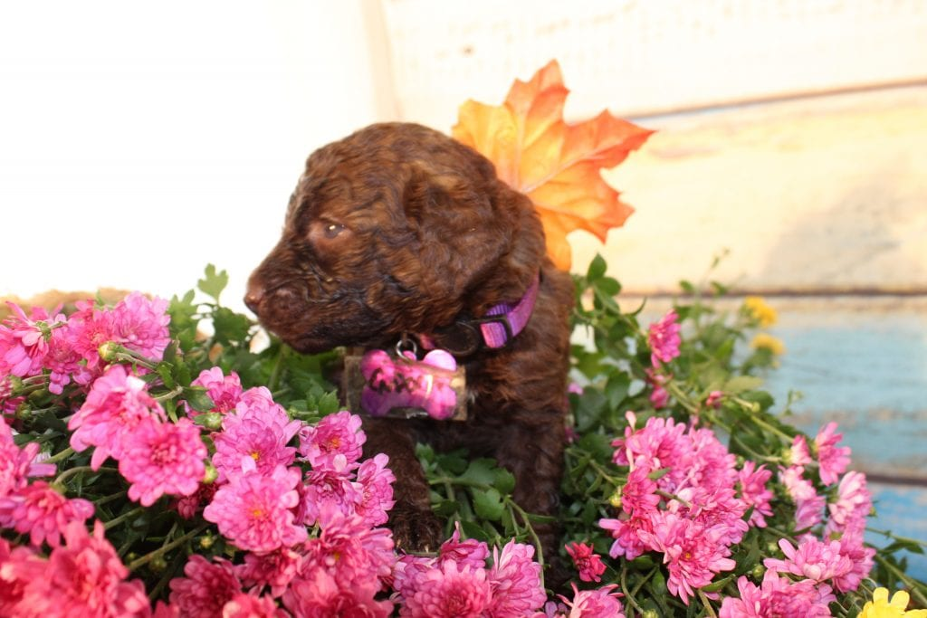 Endora is an F1B Goldendoodle that should have Curly, chocolate, and chocolate merle