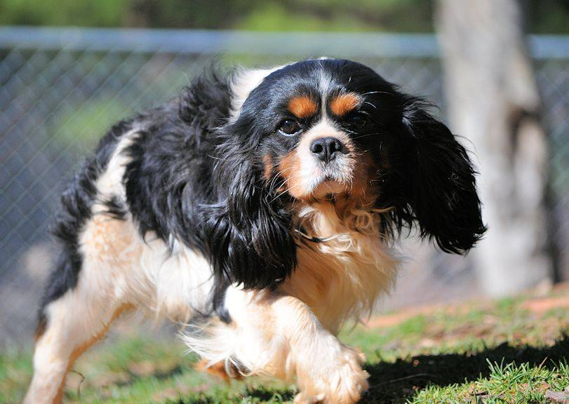 A picture of one of our Cavalier King Charles father's, Jessie.