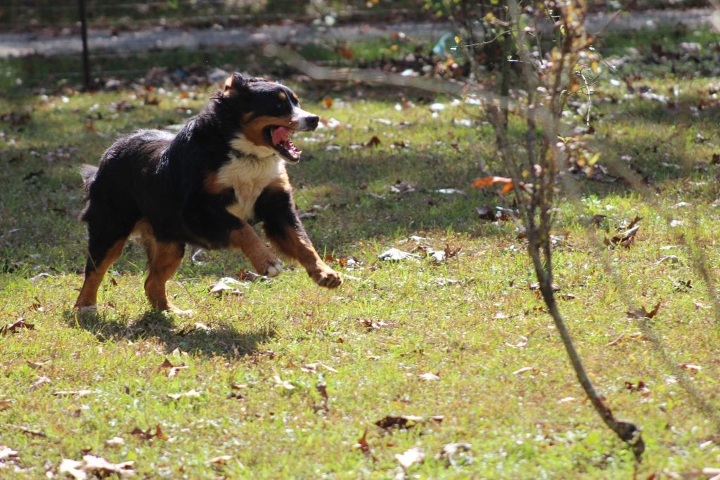 A picture of one of our Bernese Mountain Dog mother's, Luna.
