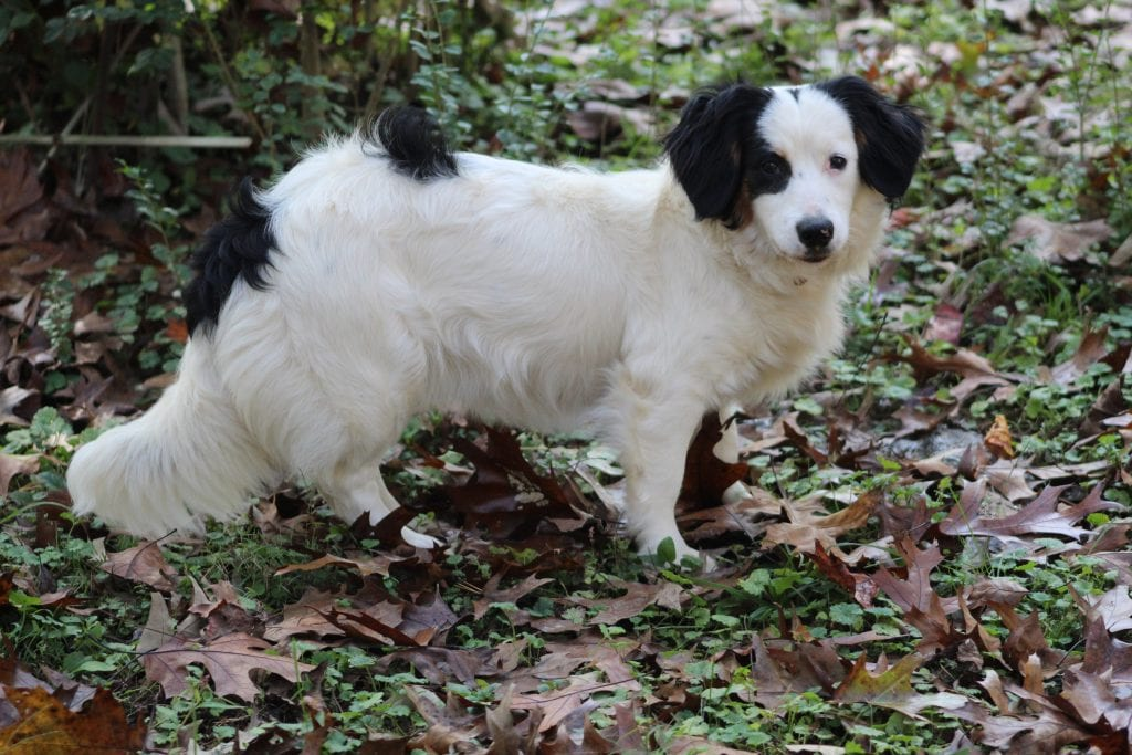 Bunny is an Multigen mini-Bernedoodle and a mother here at Virginia Poodles and Doodles