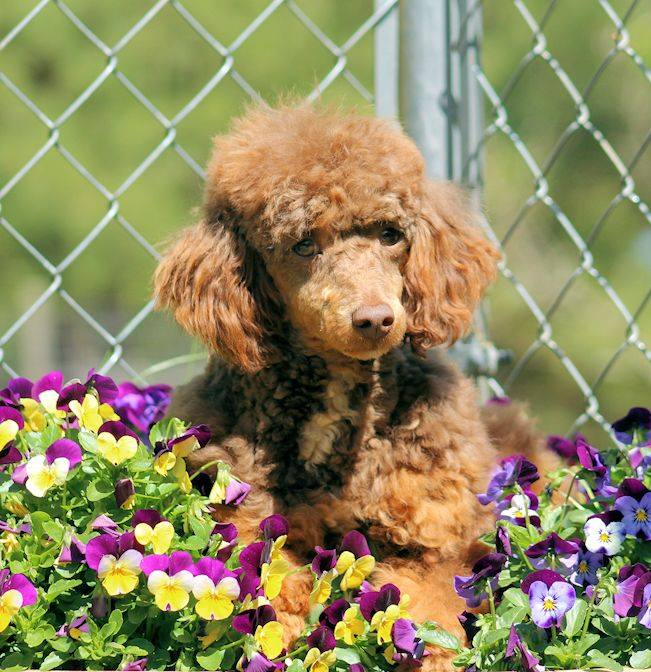 Tootsie Roll is an  Poodle and a father here at Virginia Poodles and Doodles