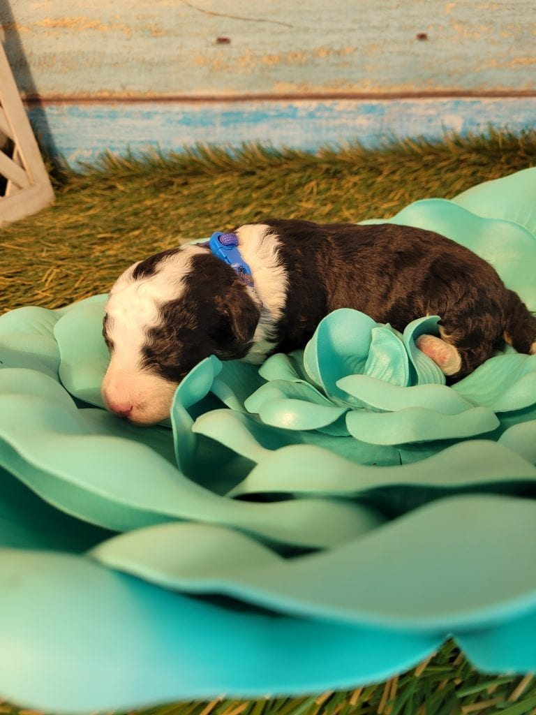 Bean came from Dotty and Mongoose's litter of F2 Bernese Mountain Doodles