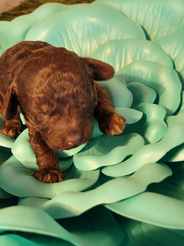 Fudge is an F1B Mini-goldendoodle that should have Wavy to lightly curly chocolates