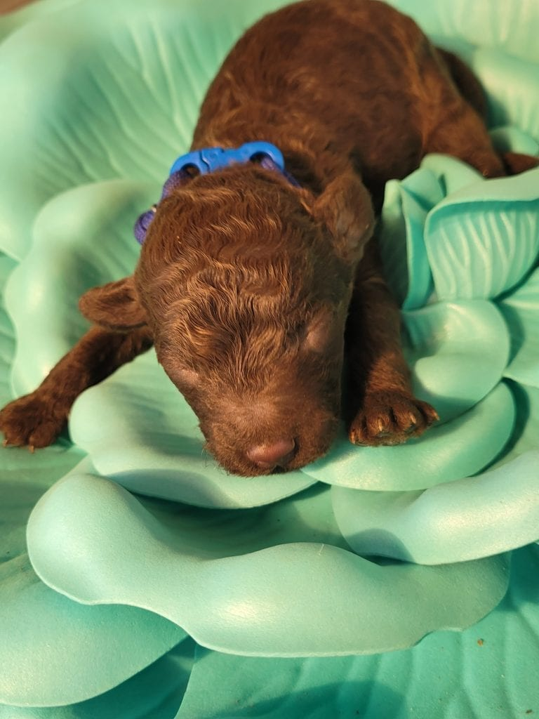 Brownie came from Ting and Tootsie Roll's litter of F1B Mini-goldendoodles