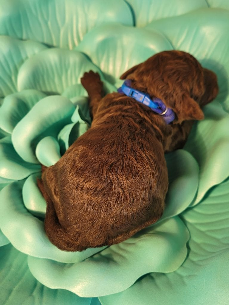 A picture of a Brownie, one of Doodle Breeder's 10 pounds Mini-goldendoodles