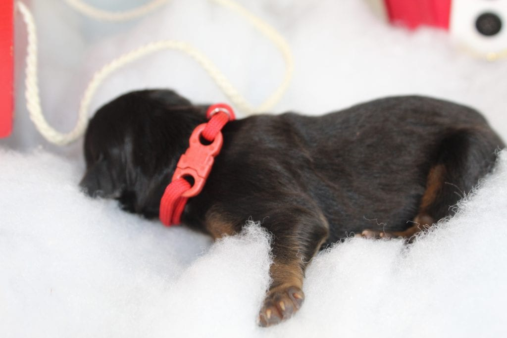 A litter of 50 lbs F1 Bernese Mountain Doodles available in Virginia