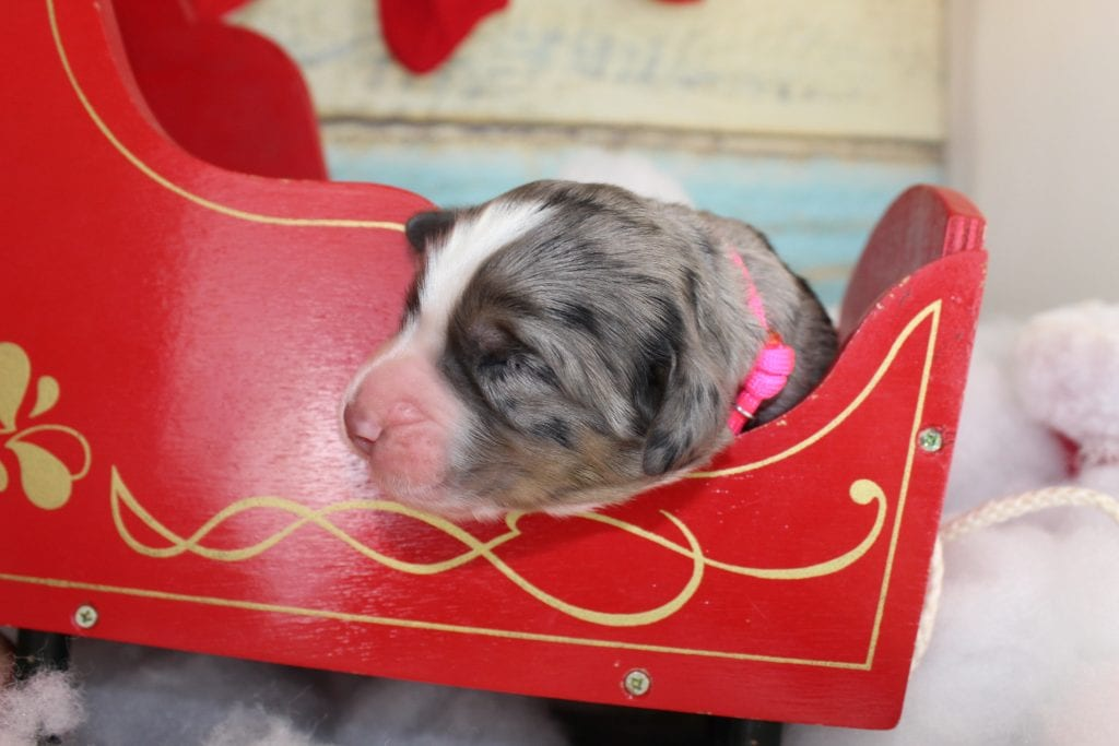 A picture of a Star- Pink Collar, one of Doodle Breeder's 50 lbs Bernese Mountain Doodles