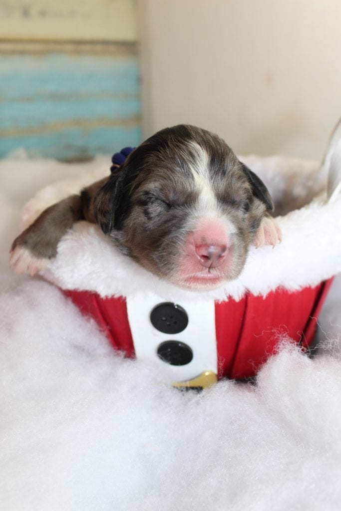 Cosmo- blue collar came from Eclipse and Miracle Max's litter of F1 Bernese Mountain Doodles