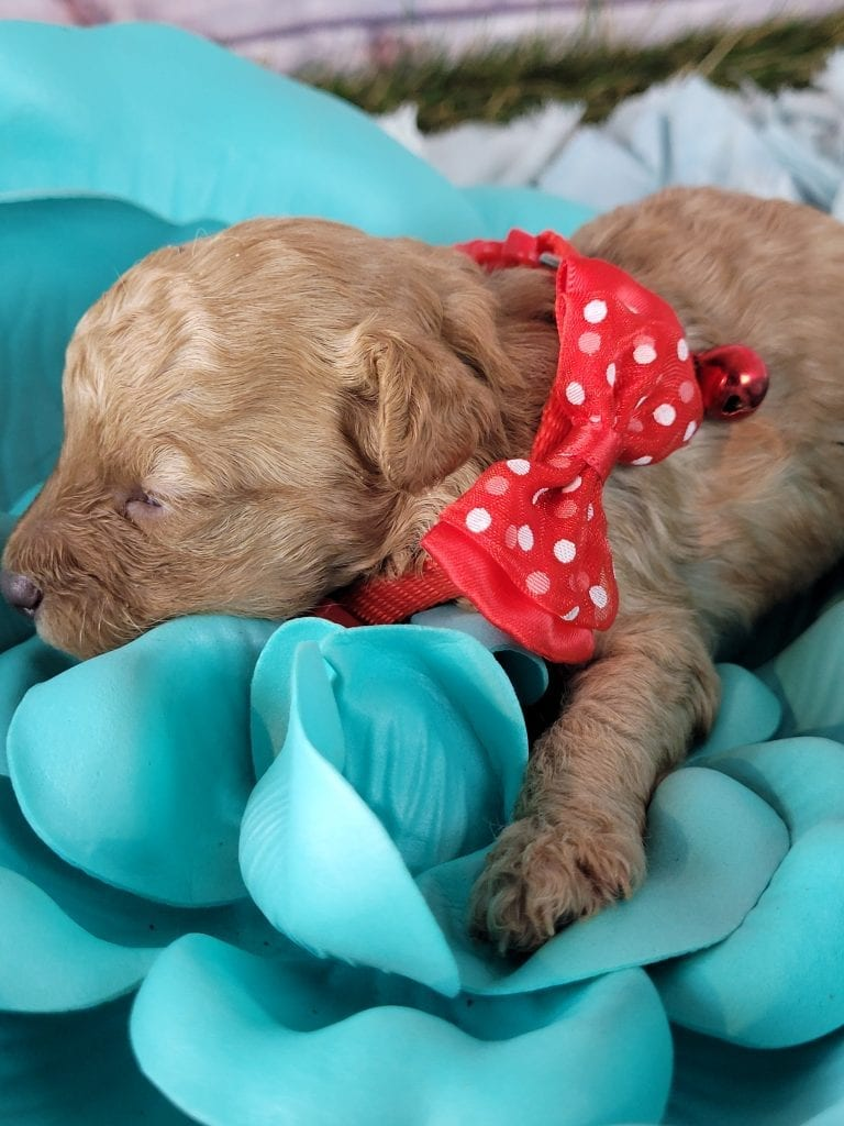 Lil' Chunk is an F1B mini f1b goldendoodle that should have Curly, tiny f1b micro golden doodles