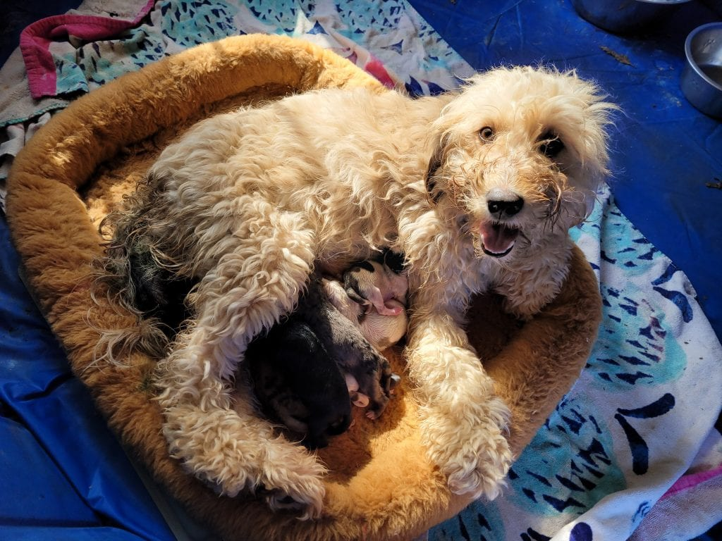 A picture of a group of 40 Goldendoodles bred in Virginia