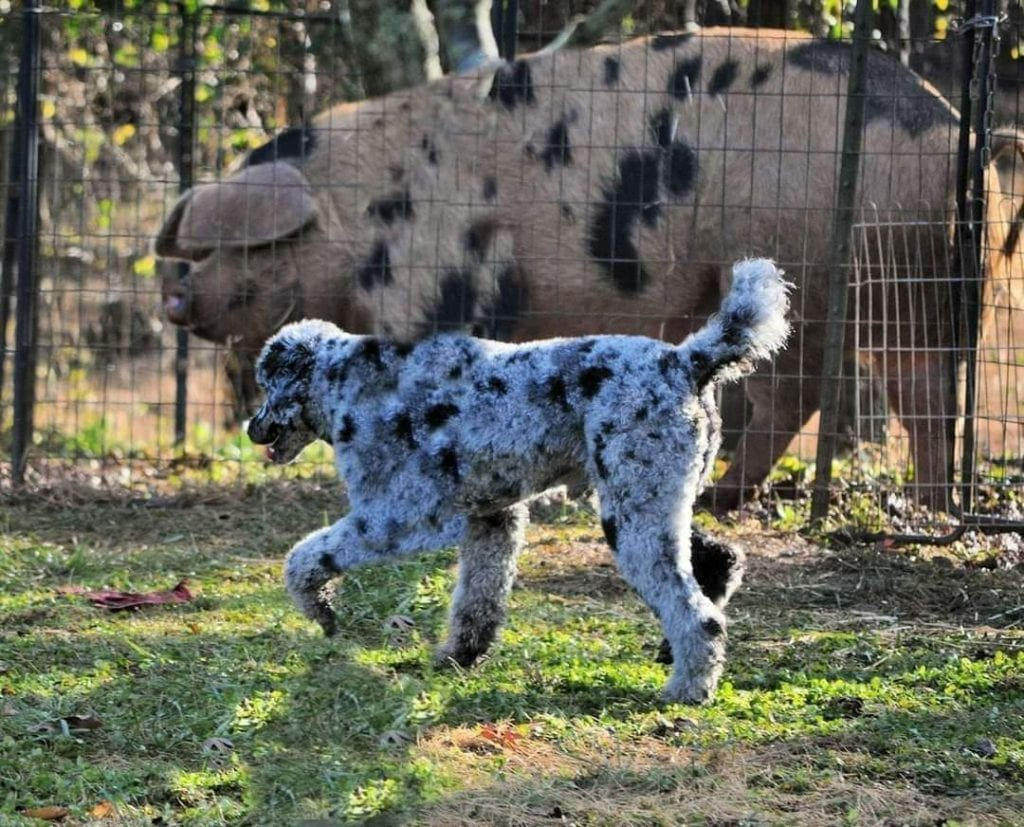 A picture of one of our Moyan Poodle father's, Mr. B.