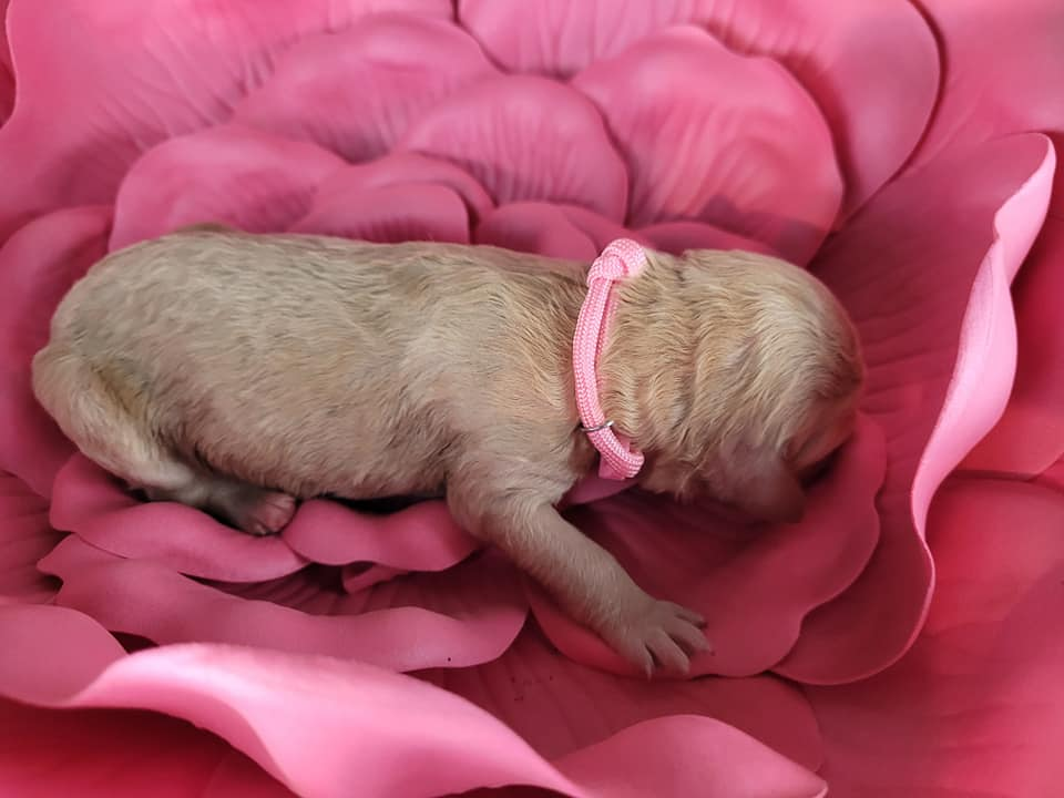 Barbara is an F1B Goldendoodle that should have Curly and wavy cream and apricot mini goldendoodles
