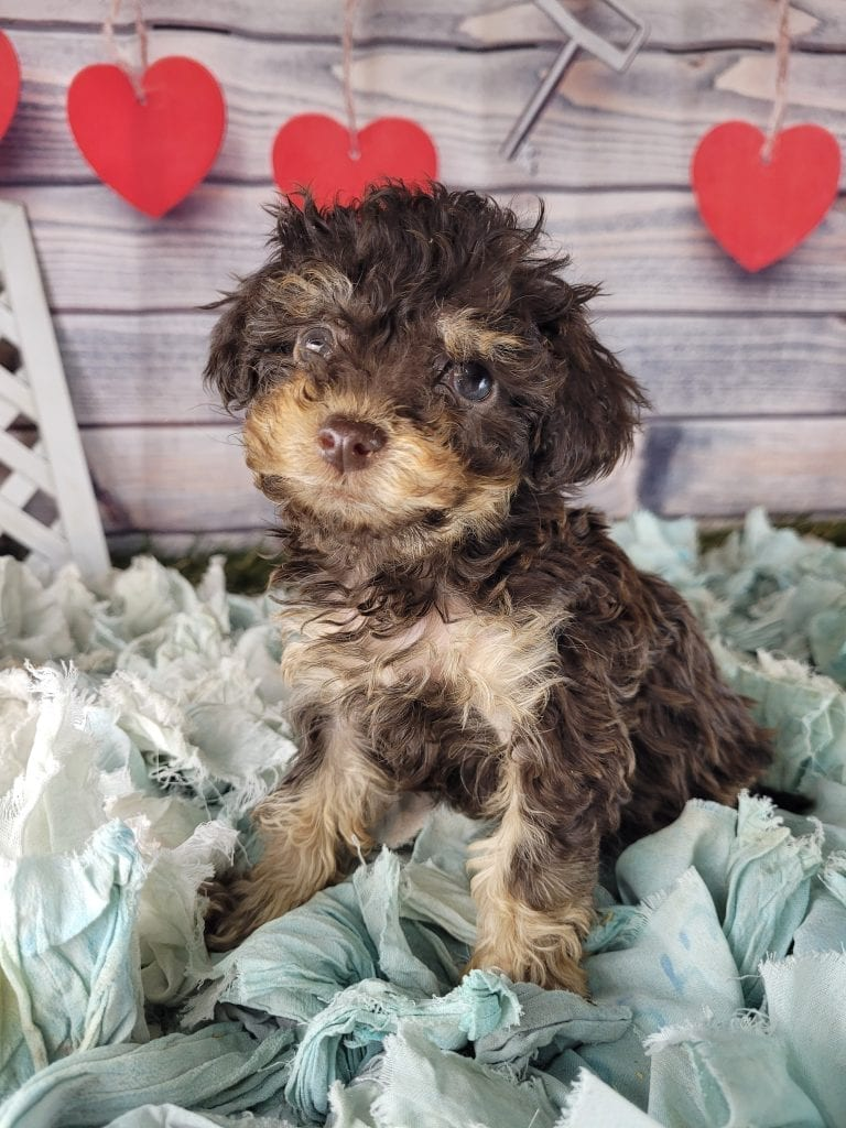 Astora came from Satora and Tootsie Roll's litter of F1B mini f1b goldendoodles