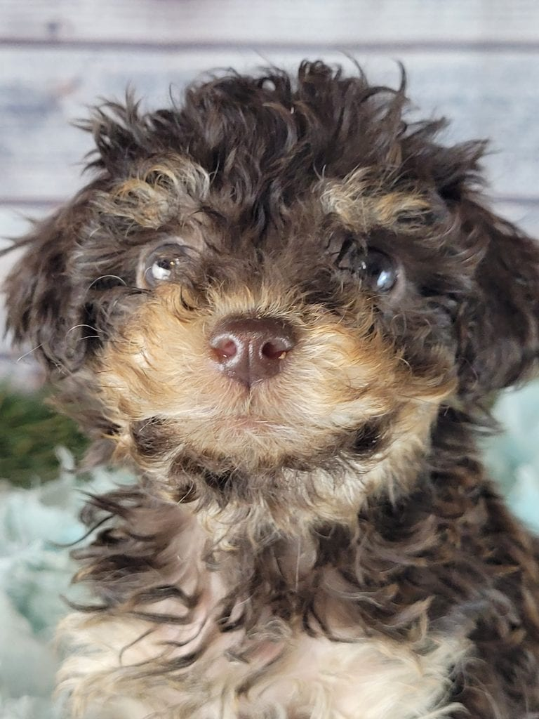 A picture of a Astora, one of Doodle Breeder's 10 pounds mini f1b goldendoodles