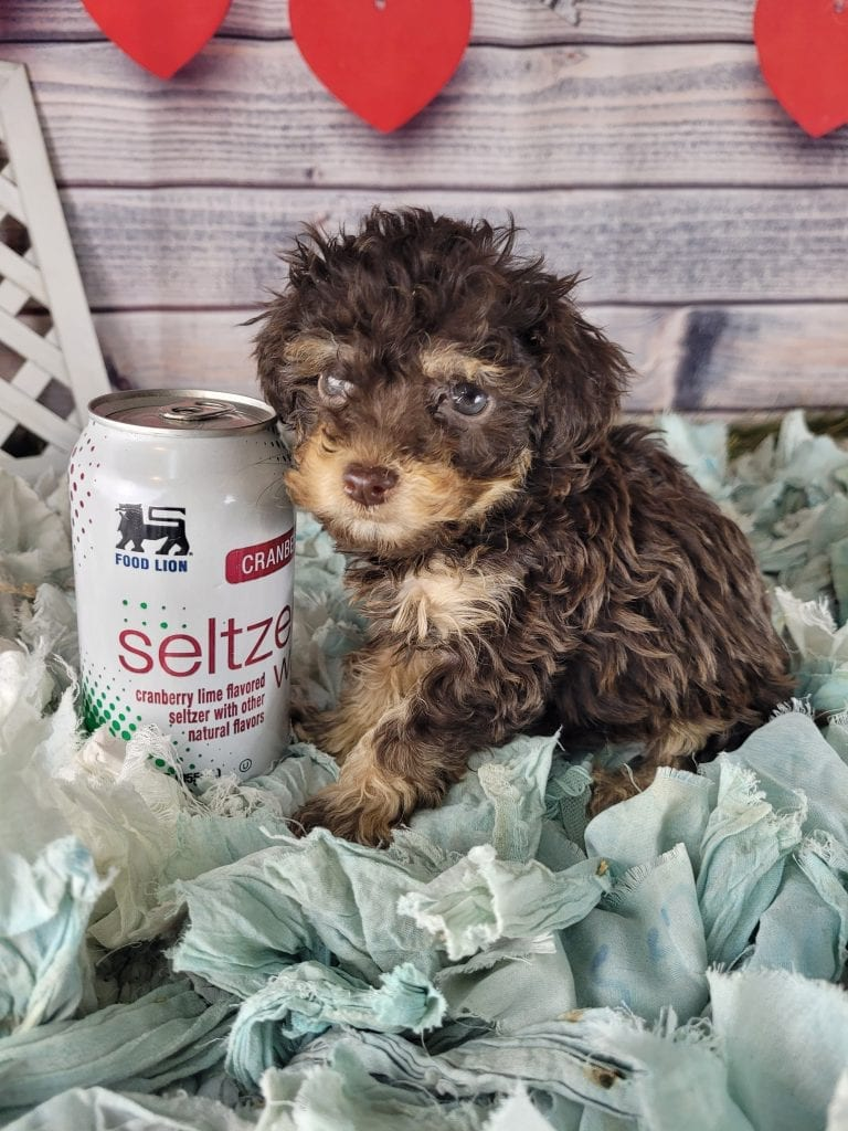 Astora is an F1B mini f1b goldendoodle that should have Curly, tiny f1b micro golden doodles