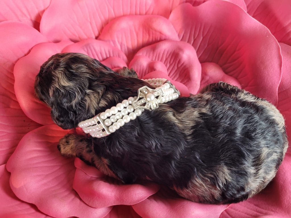 A picture of a Juno, one of Doodle Breeder's 45 pounds Goldendoodles