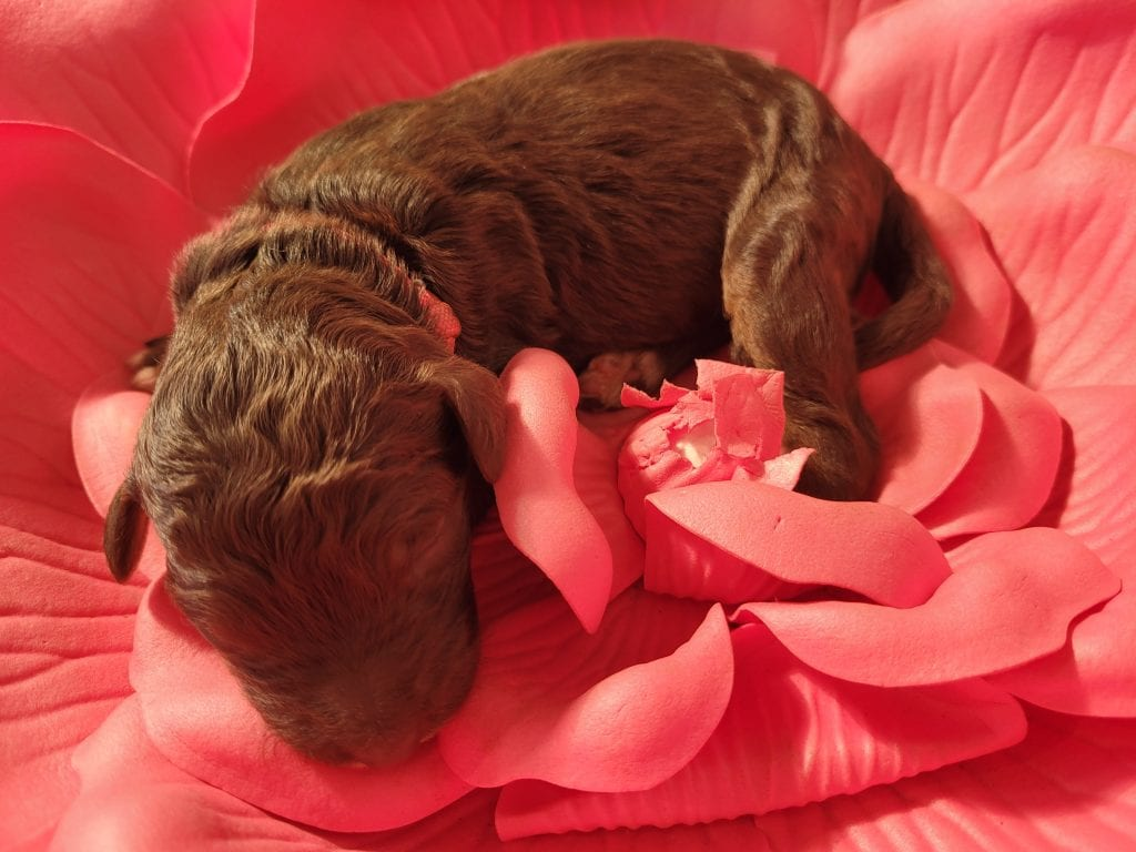 Frenchy came from Frenchy and Mr. B's litter of F1B Goldendoodles