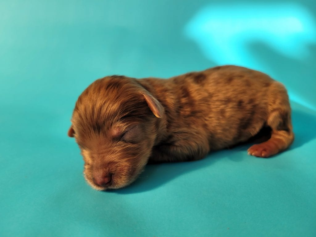 Winston is an F1 Goldendoodle that should have Puppies will be 40 to 45 pounds full grown, blue merle, chocolate or cream