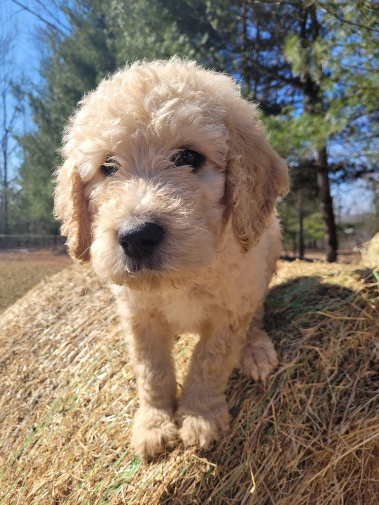 Blue is an F1B Goldendoodle that should have Curly cream Goldendoodles