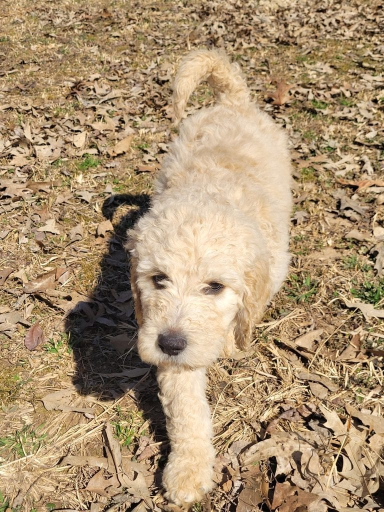 A picture of a Blue, one of Doodle Breeder's 60lbs Goldendoodles