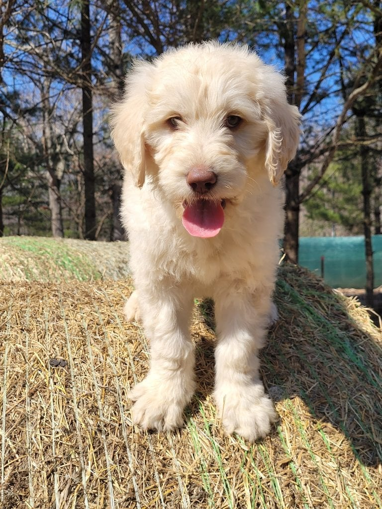 Grey is an F1B Goldendoodle that should have Curly cream Goldendoodles
