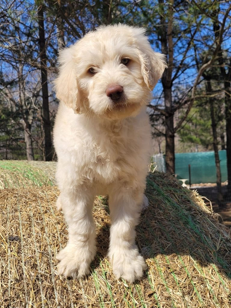A picture of a Grey, one of Doodle Breeder's 60lbs Goldendoodles