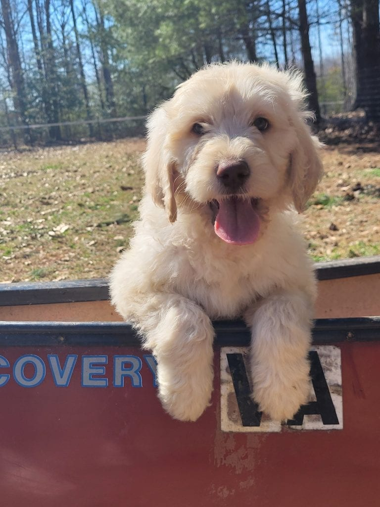 Grey came from Snow and Moon Acres Eli's litter of F1B Goldendoodles